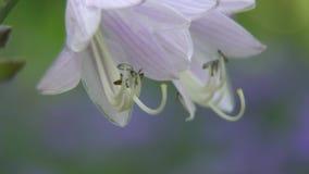 Campana porpora del fiore del primo piano che ondeggia nel vento stock footage