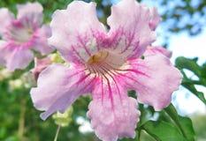 Campana rosada Fotos de archivo libres de regalías