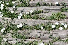 Campanas blancas que crecen entre los tableros de un pavimento de madera Imagen de archivo