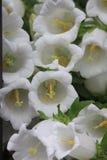 Campanas de Cantorbery, flor de campana blanca ('alba medios' de la campánula) Imagen de archivo