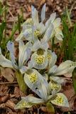 Campane dei petali striati delle iridi nane pallide Fotografia Stock Libera da Diritti