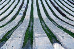 Campane di vetro di Polytunnels sull'azienda agricola Fotografie Stock Libere da Diritti