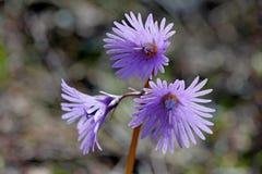 Campane guarnite poco (alpina di soldanella) Immagini Stock