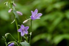 Campane lilla delicate della foresta Fotografia Stock