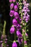 Campane rosa, crescita di fiori nella foresta, Fotografia Stock Libera da Diritti