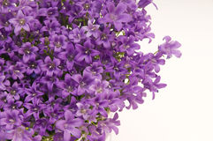 Campanella blooms. Purple Campanella blooms on white background stock photos