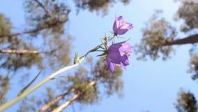 Campanilla (campana-flor) y pino-árbol en el bosque, diversidad del ambiente del verano, almacen de metraje de vídeo