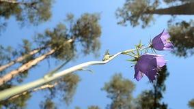 Campanilla (campana-flor) y pino-árbol en el bosque, diversidad del verano, almacen de video