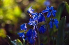 Campanilla entre campanillas en el tiempo de primavera del bosque foto de archivo