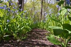 Campanilla Forest Pathway de mayo foto de archivo libre de regalías