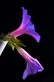 Campanillas. Morning glory in a white vase. Ipomoea stock photo