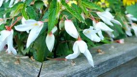 Campanillas de las flores blancas en el jardín Fotografía de archivo libre de regalías