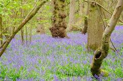 Campanillas en arbolado en primavera Fotos de archivo