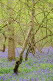 Campanillas en bosque con los árboles altos Imagen de archivo libre de regalías