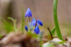 Campanillas en bosque de la primavera Fotografía de archivo