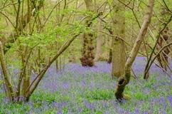 Campanillas en bosque entre árboles imagenes de archivo