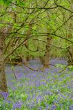 Campanillas en bosque entre árboles en primavera Fotos de archivo libres de regalías