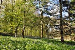 Campanillas en el bosque Foto de archivo