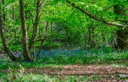 Campanillas en el bosque en primavera Foto de archivo libre de regalías