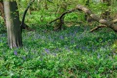 Campanillas en el bosque en primavera Fotos de archivo libres de regalías
