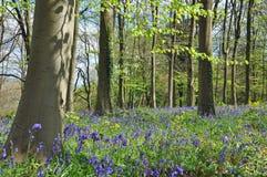 Campanillas en Queenswood, Herefordshire de la primavera Foto de archivo