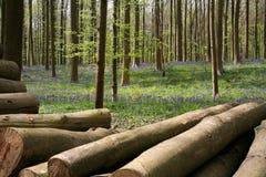 Campanillas finales de abril, la madera de Halle, Bélgica Imagen de archivo libre de regalías