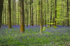 Campanillas finales de abril, la madera de Halle, Bélgica Fotografía de archivo