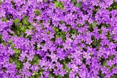 Campanillas púrpuras Imagen de archivo libre de regalías
