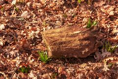 Campanillas persistentes que crecen a través de las hojas del invierno fotos de archivo libres de regalías