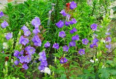 Campanula κουδουνιών κήπων στοκ φωτογραφία με δικαίωμα ελεύθερης χρήσης