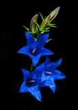 Campanula, μπλε λουλούδια Στοκ εικόνες με δικαίωμα ελεύθερης χρήσης