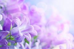 campanula букета Стоковая Фотография RF