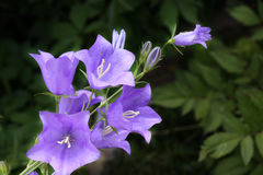 Campanula Royalty Free Stock Photos