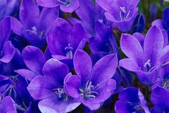 Campanula - The Bell Flower Plant of Many varieties. Campanula - The Bell Flower, takes its scientific and common name from its bell shaped flowers.  The species stock image