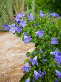 Campanula Royalty Free Stock Image
