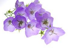 Campanula Stock Image