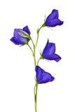 Campanula aislado del azul de cuatro flores Fotos de archivo libres de regalías
