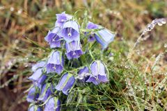 Campanula alpina macro Royalty Free Stock Photography