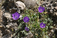 Campanula alpina. Is a species of perennial bellflower found Carpathian Mountains Stock Images