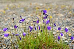 Campanula altaica fowers in Aktru valley. Altai Republic. Russia Royalty Free Stock Photography