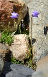Campanula altaica fowers in stones at Aktru valley. Altai Republic. Russia Royalty Free Stock Images