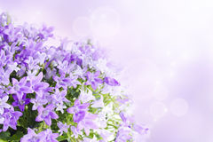 Campanula background Stock Images