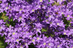 Campanula. A background of densely packed rich purple campanula flowers Stock Photo