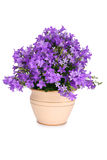 Campanula bell flowers Royalty Free Stock Photos