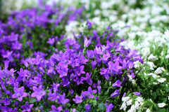 Campanula bell-flowers Royalty Free Stock Photos