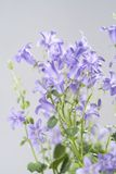 Campanula bell flowers on the grey background Royalty Free Stock Photo