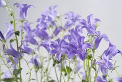Campanula bell flowers on the grey background Stock Photography
