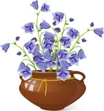 Campanula bell flowers in a pot Royalty Free Stock Photos