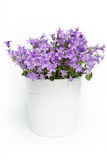 Campanula bell flowers Royalty Free Stock Photo