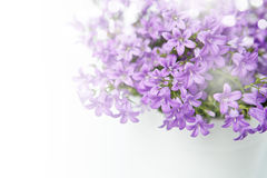 Campanula bell flowers Royalty Free Stock Images